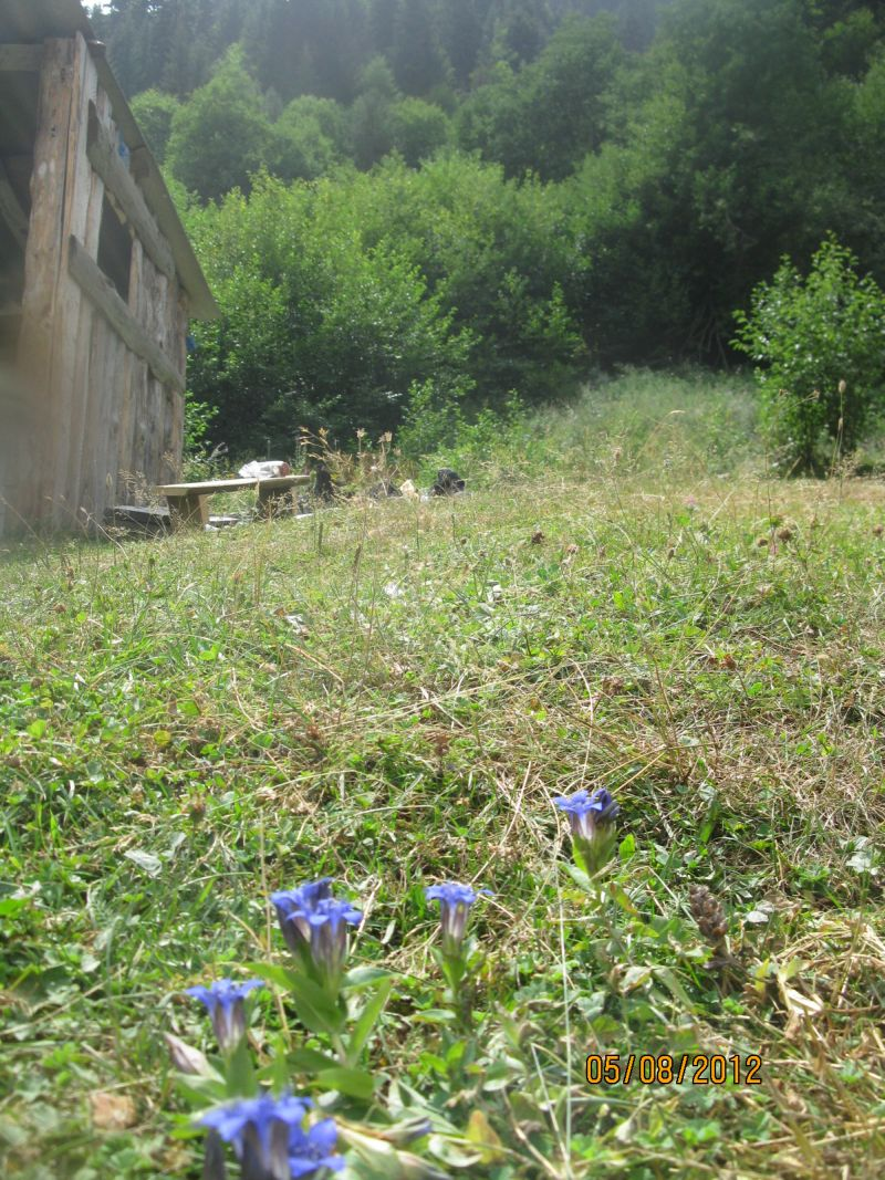 meadow_with_gentians